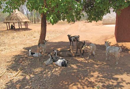 kuva vuohista jossain Afrikassa